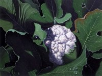 Cauliflower -- artwork © Shelley Martin (click to see a larger version of the painting)