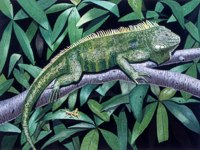 Iguana -- artwork © Shelley Martin (click to see a larger version of the painting)